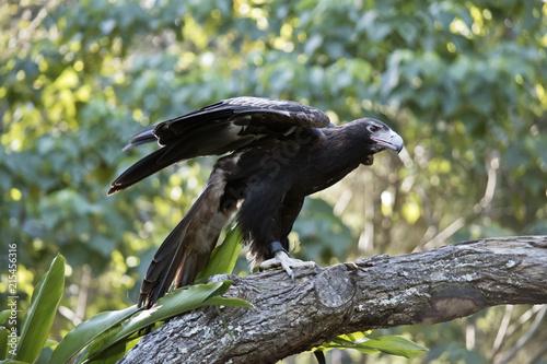 Canvas Eagle wedge tailed eagle