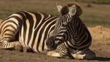 Zebra turning head to look, SLOW - 215485571