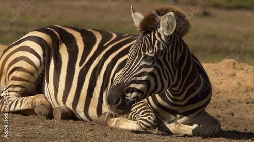 Zebra turning head to look, SLOW
