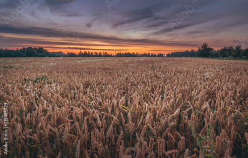 Foto Spatwand Cappuccino Crop field at colorful evening sunset. Wheat growing together with flowers. Orange sky with majestic clouds in countryside. Fresh air, clean environment, sustainable lifestyle.