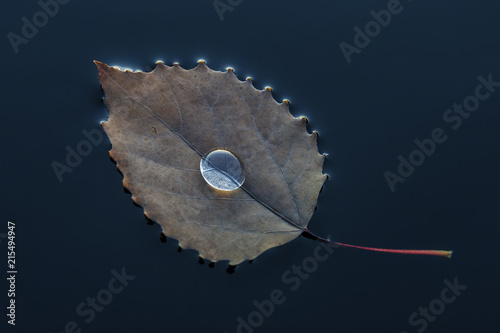 In de dag Canada Drop of water cradled by a Large-tooth Aspen leaf floating in a lake - Ontario, Canada