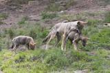 Wolf Erziehung - 215509758