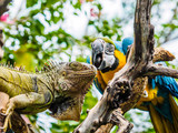 Iguana and Blue and Gold Macaw
