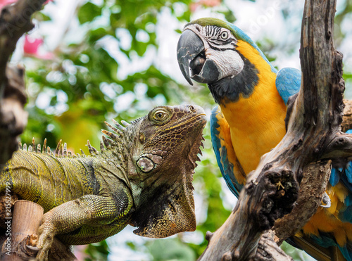 Foto Murales Iguana and Blue and Gold Macaw