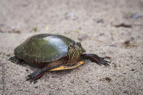 Foto Spatwand Schildpad Midland Painted Turtle