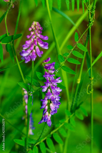 North American Fireweed
