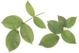 rose_leaves - 215542530