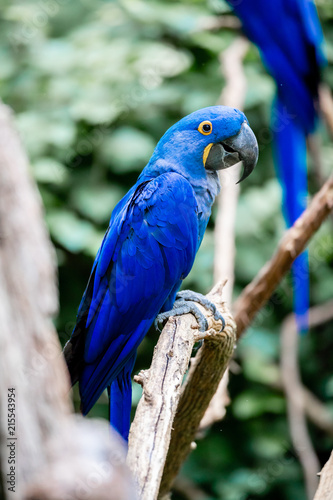 Foto Spatwand Papegaai Blue Macaw