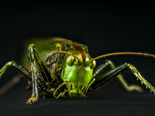 Macro shot of grasshopper © Roman Milert