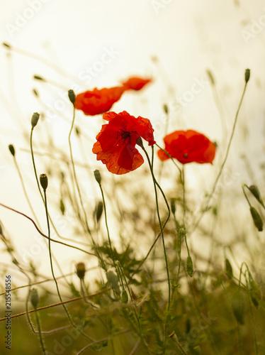 Poppies vintag - 215548556