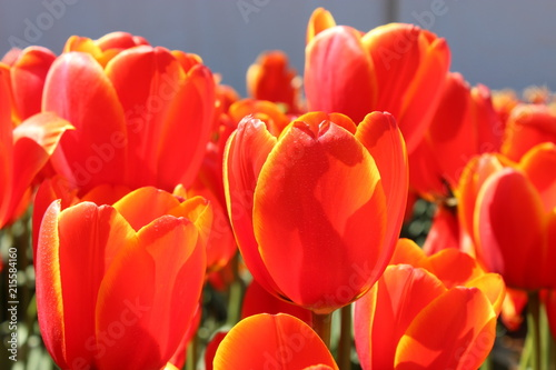 Fotobehang Tulpen Orange Tulips in Spring