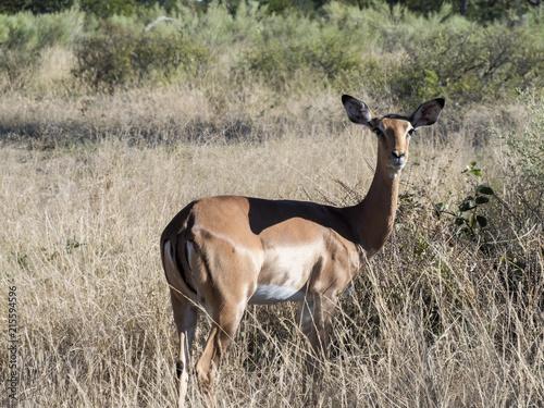 Fotobehang Donkergrijs Impala, Aepyceros melampus, in the Moremi National Park, Botswana