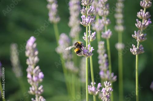 Canvas Lavendel bumblebee on flowers