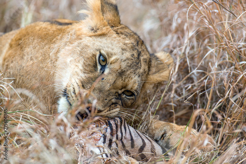 Foto Spatwand Lion Lion in National park of Kenya