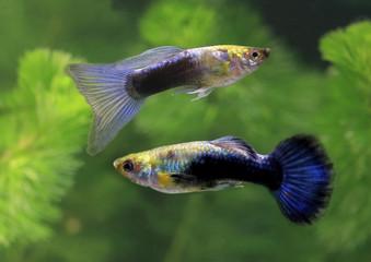 Guppy (Poecilia reticulata) Aquarienfische © Aggi Schmid
