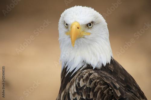 Canvas Eagle Weißkopfseeadler (Haliaeetus leucocephalus) Portrait