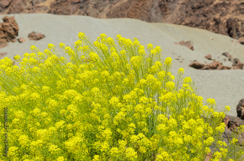 Fotobehang Canarische Eilanden Typical flowering plant Descurainia bourgaeana or Hierba pajonera, that grows in Las Cañadas del Teide,Canary islands,Spain,