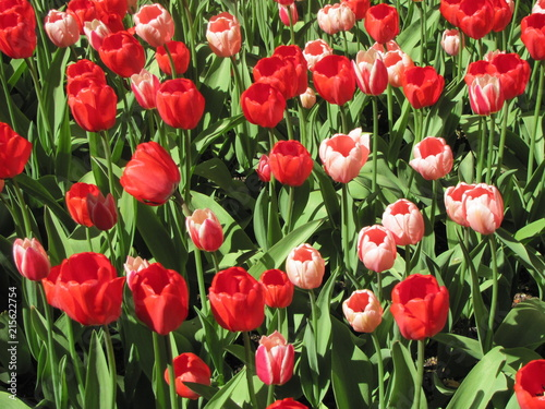 Fotobehang Tulpen Field of red tulips, spring
