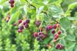 Saskatoon berries branch