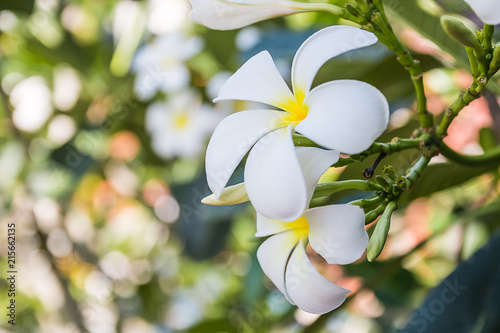 Plexiglas Plumeria Plumeria flower with bokeh background