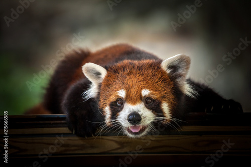 Canvas Panda Red Panda.