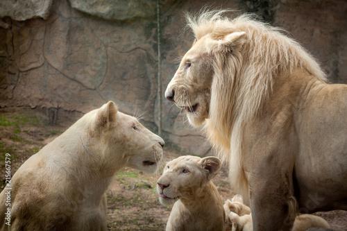 Foto Spatwand Lion White Lion , Panthera leo