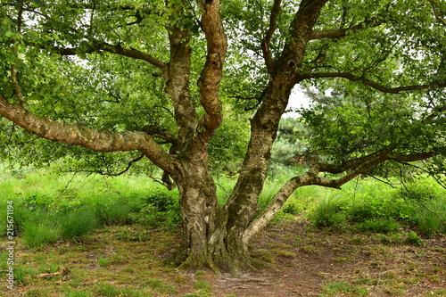 Baum Birke alt Sommer Maasduinen - 215671194