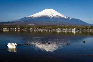 swan at Yamanaka lake near mount Fujisan