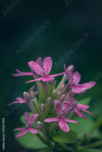 Canvas Azalea Pink azalea flower and green background. Copy space