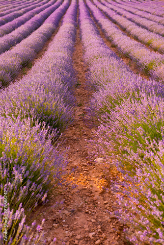 Foto Spatwand Lavendel lavender field at sunset