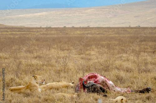 Foto Spatwand Lion Wildebeest carcass on Safari