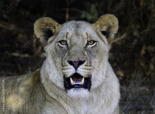 Foto Spatwand Lion Lioness