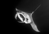 Manta ray at night