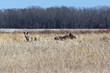 Spring Moose Field Canada