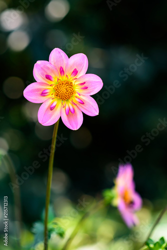 Close up of a glowing pink and yellow dahlia backlit by the sun in a border garden, with dark green background