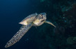 Leinwanddruck Bild - Sea turtle with remora