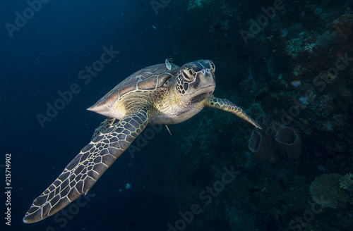 Leinwanddruck Bild Sea turtle with remora
