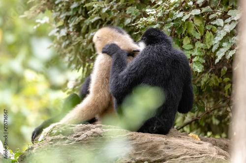 Foto Spatwand Aap Monkey