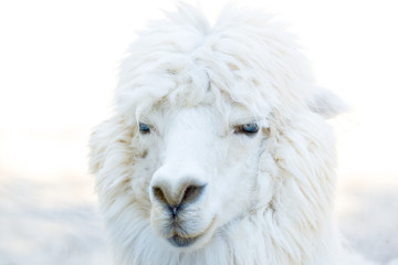 Portrait photo of Alpaca © Creaturart