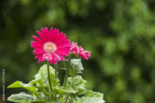 Foto Spatwand Gerbera 雨の中のピンクのガーベラの花