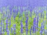 Blue Salvia flowers field in the park. - 215752356