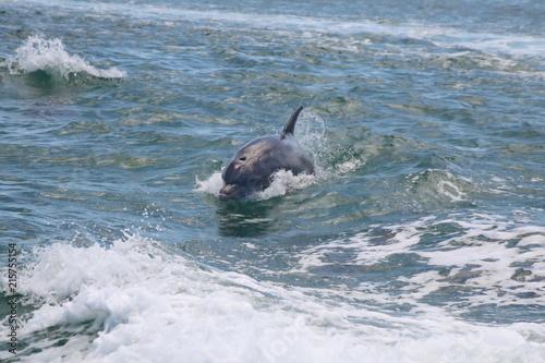 Foto Spatwand Dolfijn Dolphin riding a boat wake