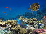 Hawksbill Sea Turtle underwater. Red Sea - 215769185