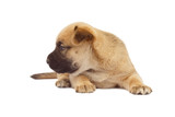 small baby dog or puppy isolated on white background