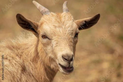 Foto Murales Portrait of a ram in a pasture