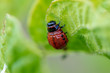 Red colorado beetle on the leaves of potatoes