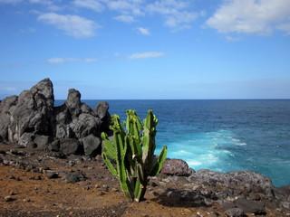 Dziki kaktus na skalistym wybrzeżu Teneryfy.  © Paulina