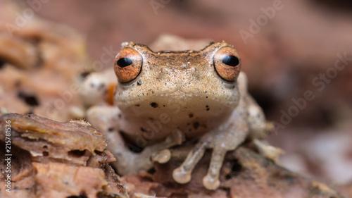Foto Spatwand Kikker Cuter Frog of Borneo