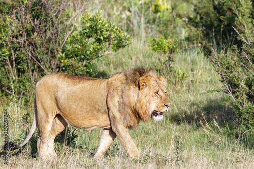Foto Spatwand Lion Walking big male Lion on the savannah