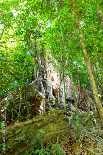 Foto Spatwand Thailand Large tropical tree with flat, wide running root system from mighty buttress roots in the national park Khao Sok